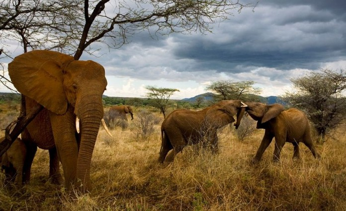 For the first time, poaching in Samburu is on a decline. Photo by National Geographic