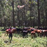 Jaguza Founder and Chief Executive, Ronald Katamba demonstrating flying a drone monitor a herd of cattle at one of the farmer's farm in Entebbe who uses the Jaguza-Tech | Courtesy Photo/Jaguza.